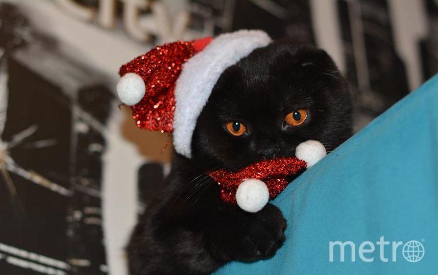 """Меня зовут Синюк Светлана. Кошка Симона ждет новый год! Фото """"Metro"""""""