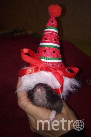 """Нашу крысу зовут Руша. Это её первый Новый год в доме, где её все любят! Фото Татьяна Логунова, """"Metro"""""""