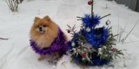 Как коты и собаки ждут Новый год: милыми фото делятся петербуржцы