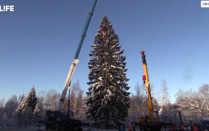 Высота ели достигает 27 метров. Фото Скриншот https://www.youtube.com/watch?v=IQ4qT8LWpo4, Скриншот Youtube