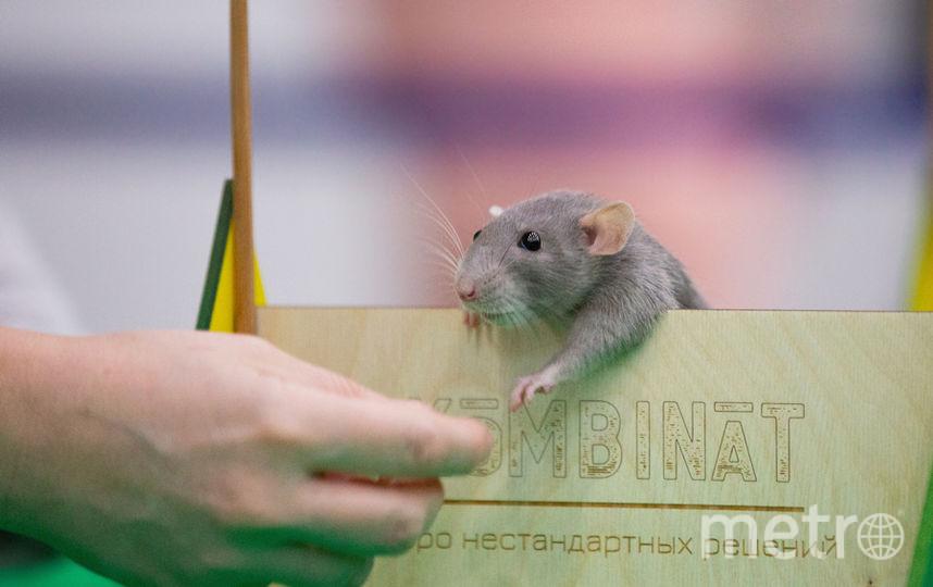 Первый в истории России турнир по крысиному конкуру. Победил крыс Елисей. Фото предоставлены организаторами