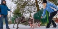 В Ленобласти мини-пиг воспитывает огромную собаку: репортаж