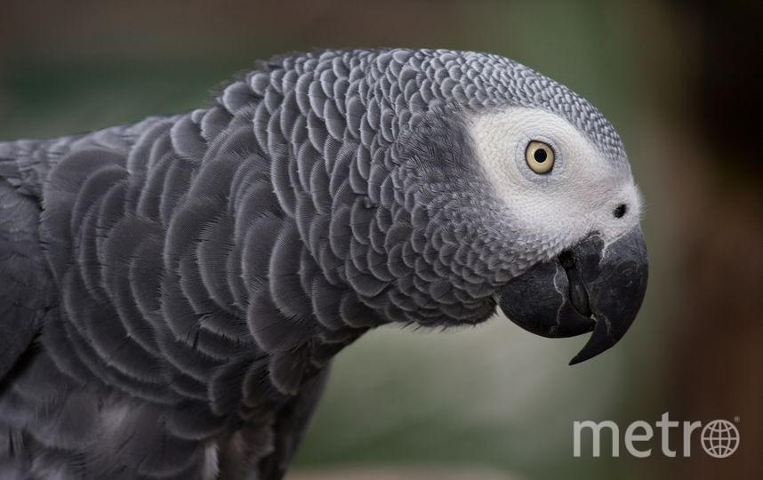 Африканский серый попугай. Фото Pixabay
