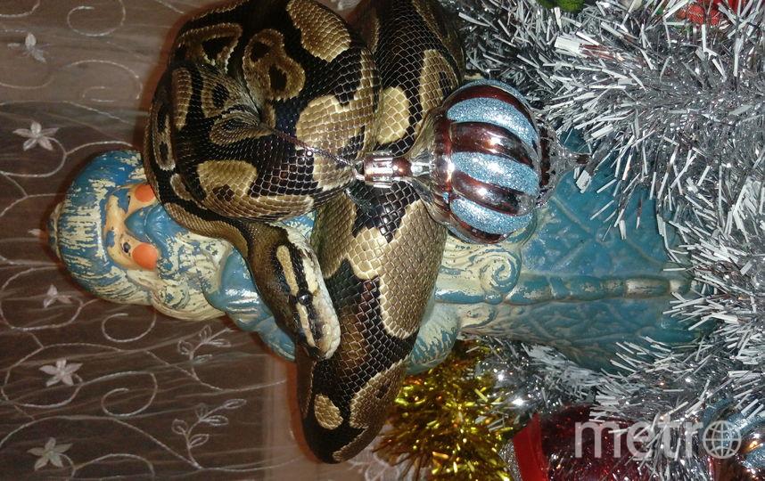 """Королевский питон по кличке """"Игорёк"""",тоже ждет Новый год! Фото Анастасия"""