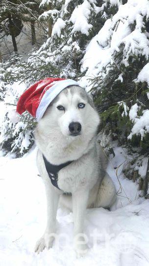 На фотографии наша любимица сибирская хаски Юки. Совсем скоро ей будет 5 лет. Она очень любит длинные прогулки по лесу, особенно зимой. Как и людям, собакам тоже хочется верить в новогоднее волшебство и в то, что мир станет хоть чуточку добрее и каждый четвероногий обретёт свой дом. Фото Елена