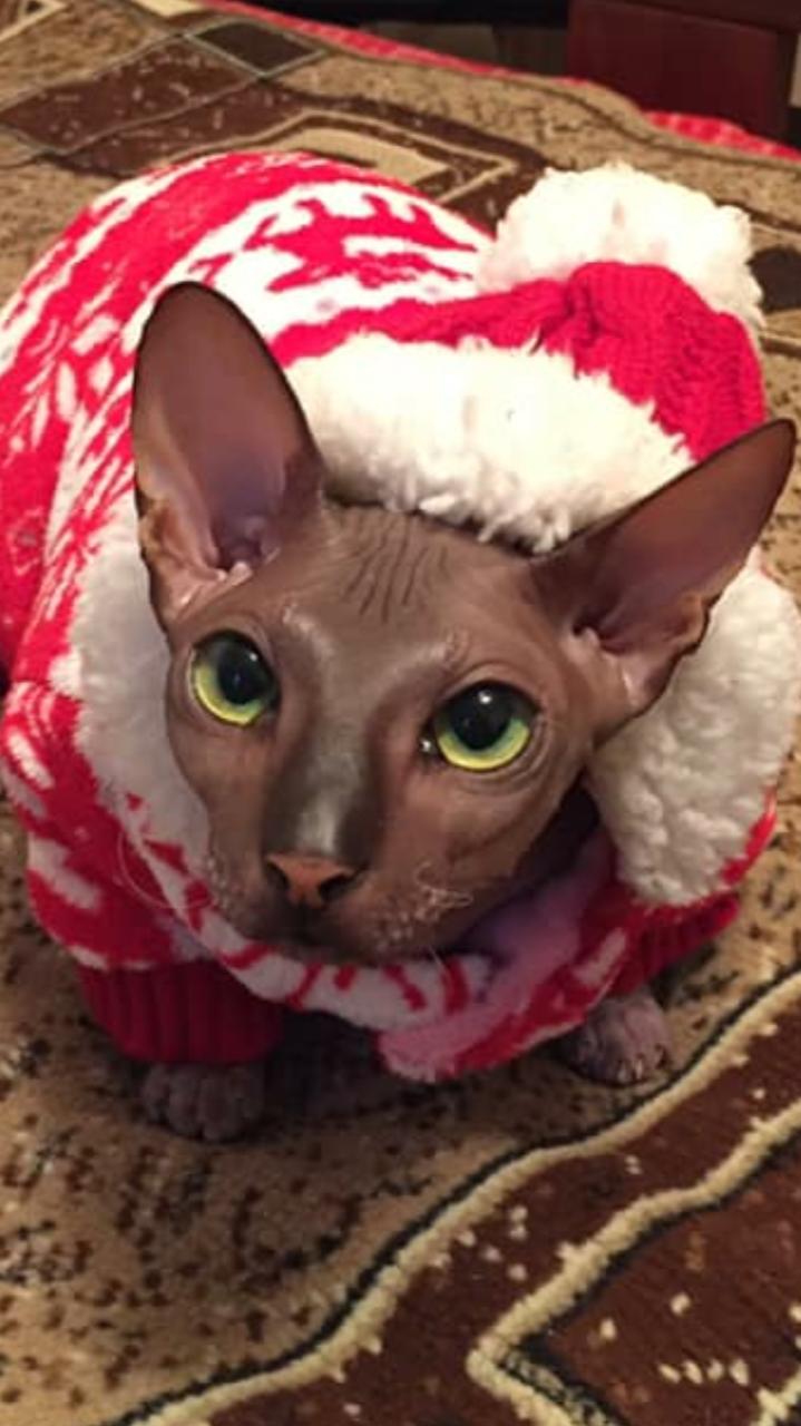 Кошка Мона, Донская голубая. Фото Наталья
