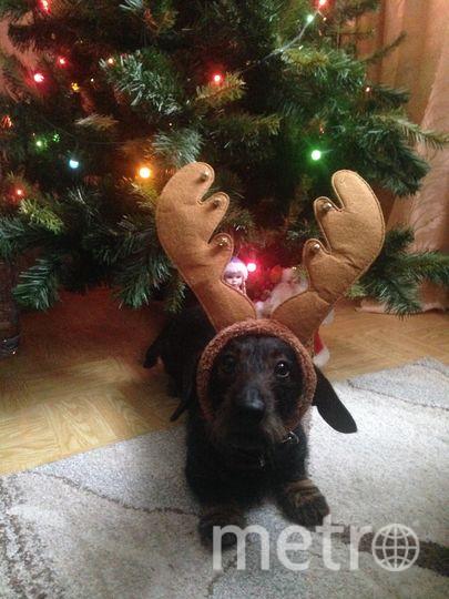 Мой таксенок Оливер уверен, что он один из новогодних оленей Деда Мороза! Фото Александр