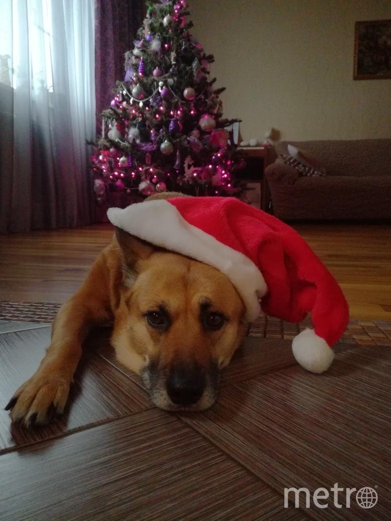 Собачка Лада к встрече Нового года готова. Фото Ирина