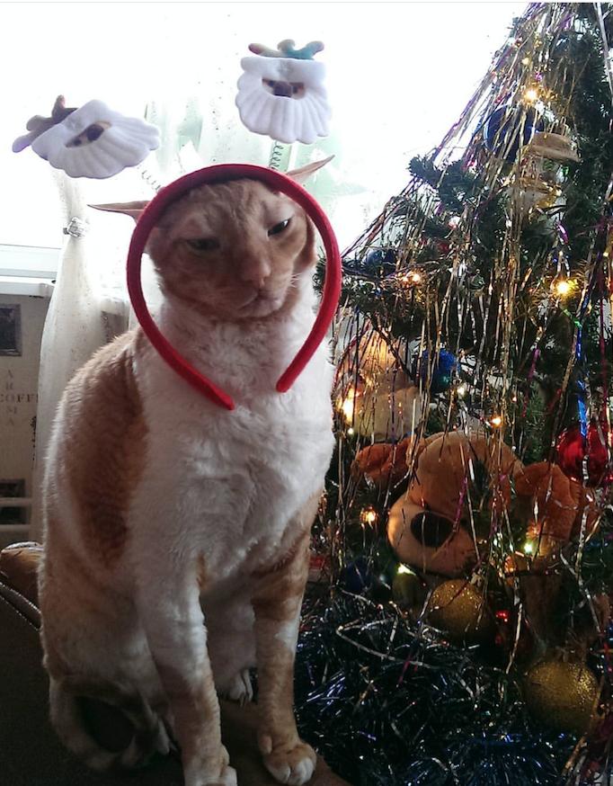 Наш кот Алекс очень ждёт нового года! Фото Екатерина