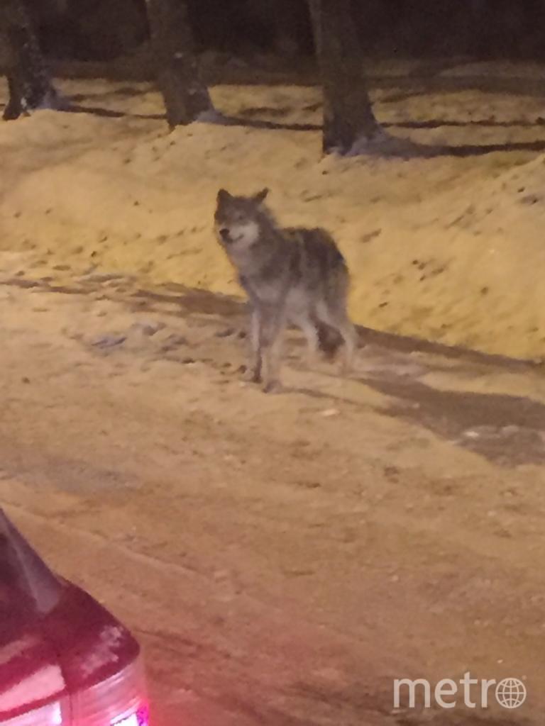 Фото волка у Павловского парка выложили в Сеть. Фото https://vk.com/spb_today?w=wall-68471405_10166227, vk.com