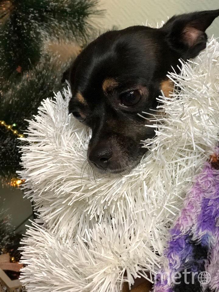 Мой маленький друг Брюллиант готов к Новому году. Фото Юлия