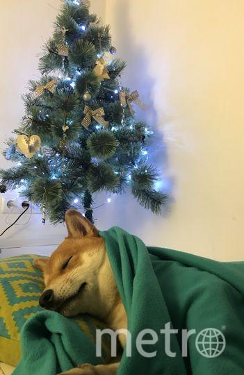 Собака породы сиба-ину, кличка Йоши. Фото Нина