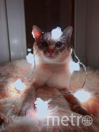 Тайский Кот Патрик. Фото Elen
