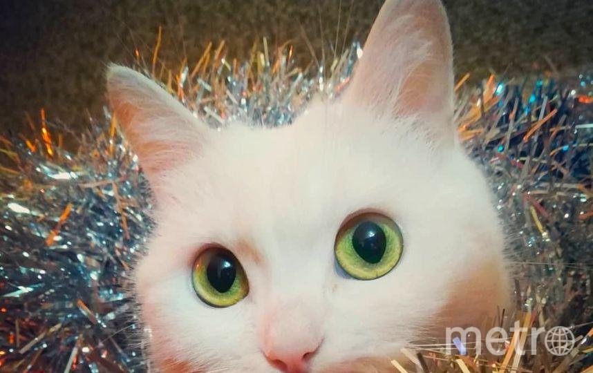 На фото Люсенька - кошечка моей любимой подруги Оксаны. Вот так она помогает наряжать квартиру к празднику. Фото Инга