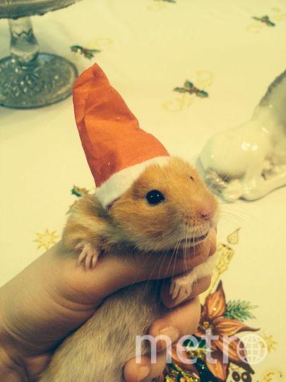 Рыжий новогодний хомячок Плюша. Фото Мария