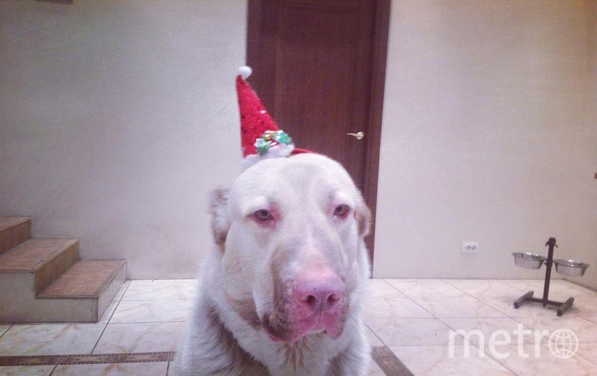 ИМУР (он - алабай. но и поросенок - потому что родился с розовым носом - так что символ одновременно и уходящего и Нового годов и как раз в декабре ему будет 2 года)).. Фото Вера, Getty