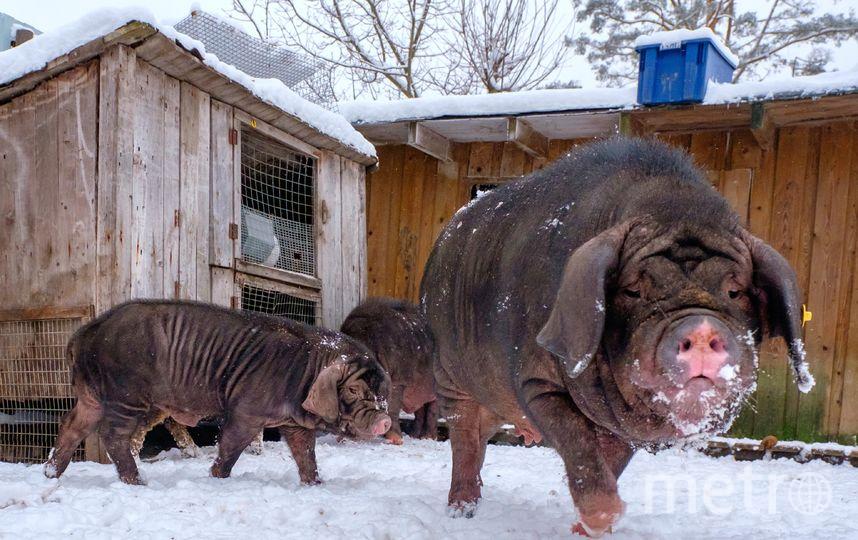 """Год Свиньи наступит только в феврале, но уже сейчас спрос на поросят  превышает предложение. Фото Алена Бобрович, """"Metro"""""""