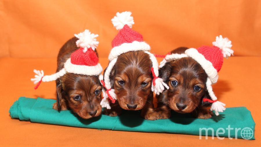 """Три сестрички снегурочки готовы встретить Новый Год!! Одри,Нелли и Олли. Фото Вера, """"Metro"""""""