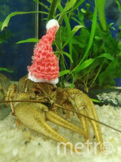 """Это рак Геннадий. Живёт в аквариуме у нас на работе. И готовится к роли деда мороза на новогоднем корпоративе. Фото Светлана, """"Metro"""""""
