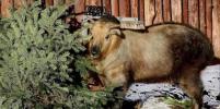 Питомцы Московского зоопарка получили более 1000 ёлок
