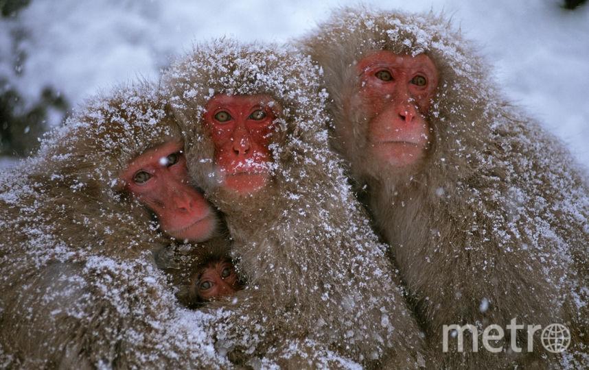 Японские макаки, или как их ещё называют, снежные обезьяны. Фото Getty