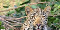 В омском цирке леопард напал на служащего