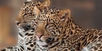 В омском цирке рассказали подробности ЧП с леопардом