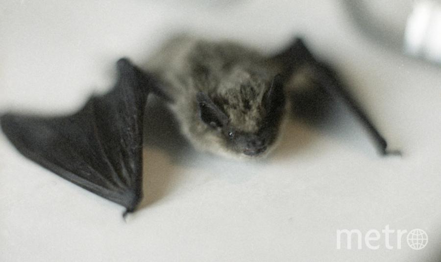 Летучая мышь – нетопырь-карлик. Фото РИА Новости
