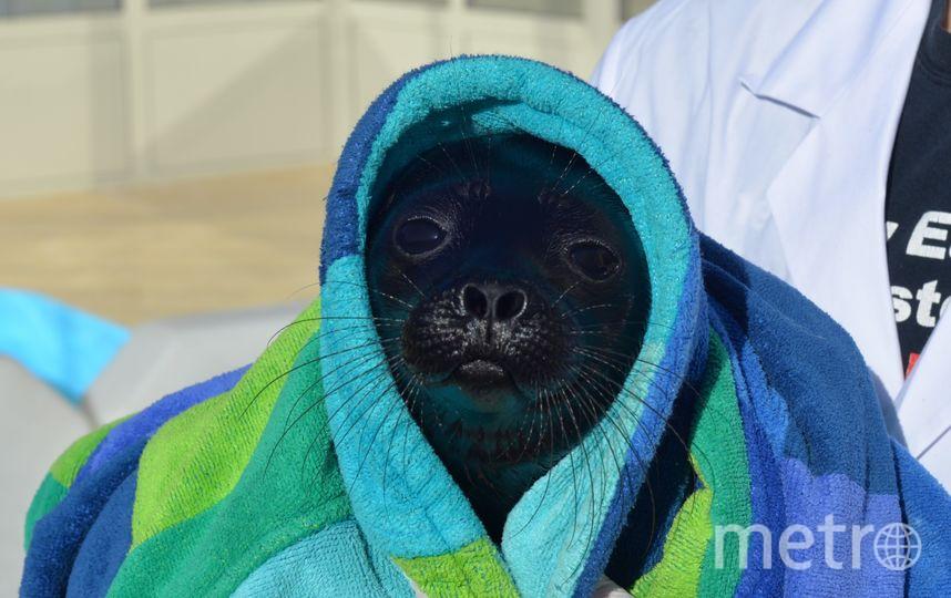 Нерпенок в полотенце. Фото sealrescue, vk.com