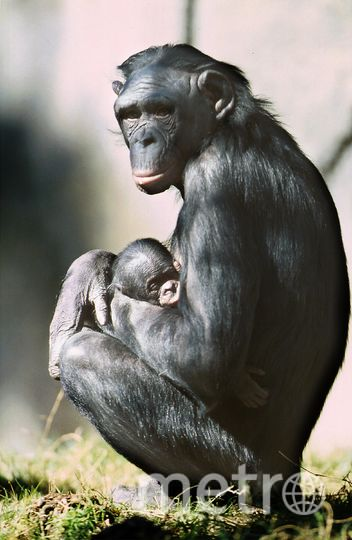 Человекообразная обезьяна бонобо. Фото AFP