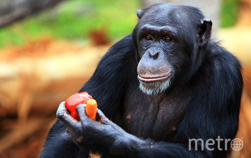 Шимпанзе. Фото AFP