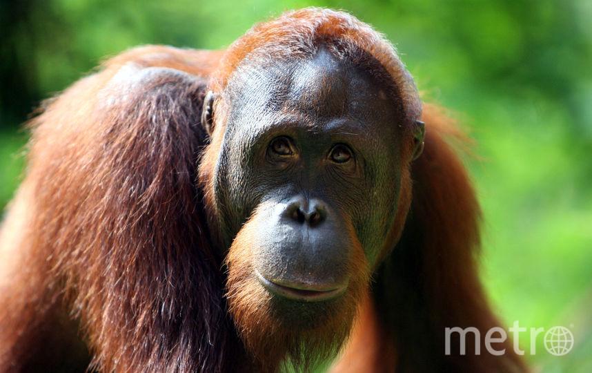 Орангутан. Фото Getty