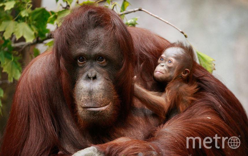Орангутаны. Фото Getty