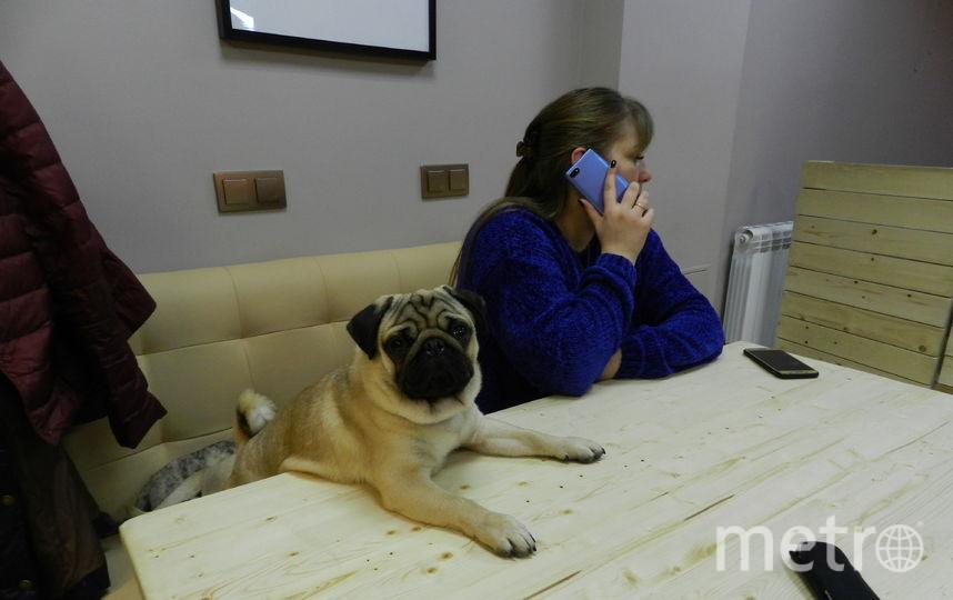Мопсы особенно любят играть с администратором Викторией. Фото Юлия Долгова