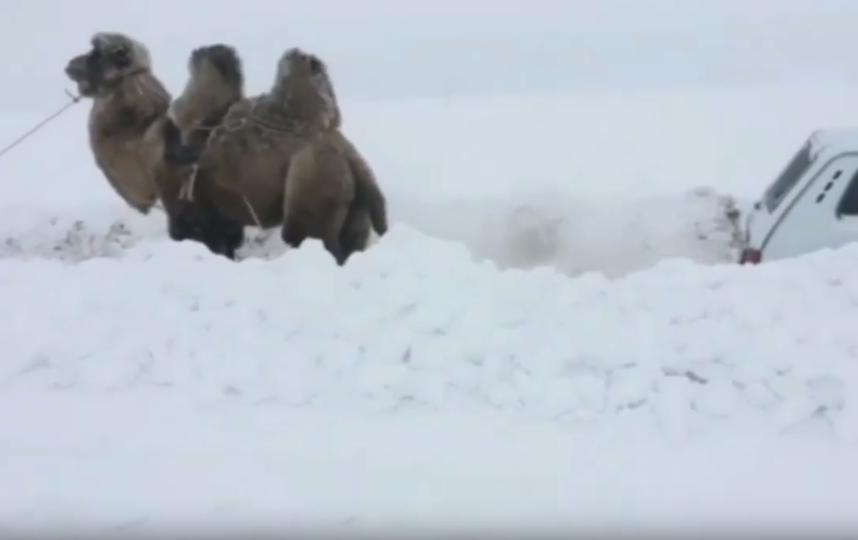 Хозяин верблюда жил неподалёку и предложил помощь. Фото Скриншот youtube.com/watch?v=U8XJ0oEkrNw