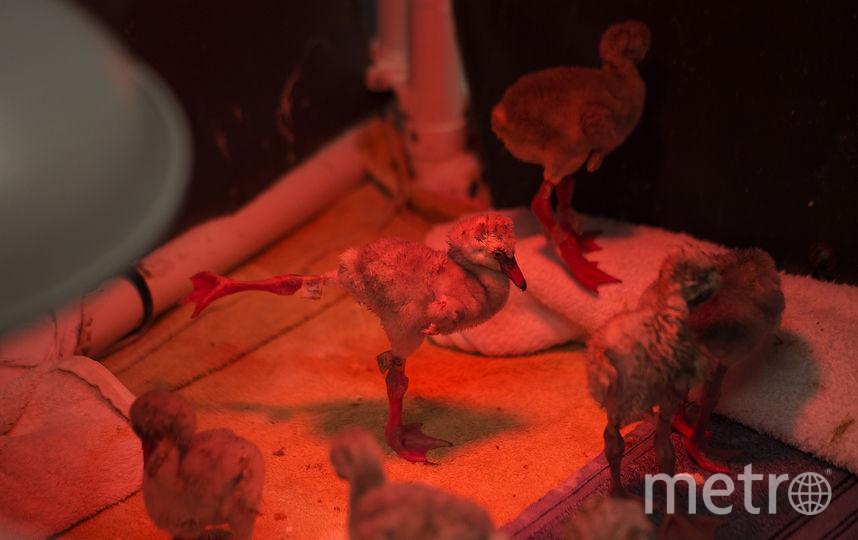 Спасённые птенцы фламинго. Фото AFP