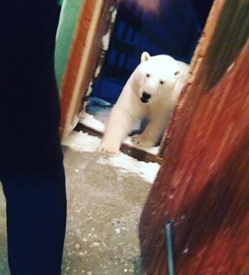 В настоящий момент отмечено наличие 52 белых медведей, которые заходят на территорию населённого пункта. Фото Скриншот https://www.instagram.com/muah_irinaelis/