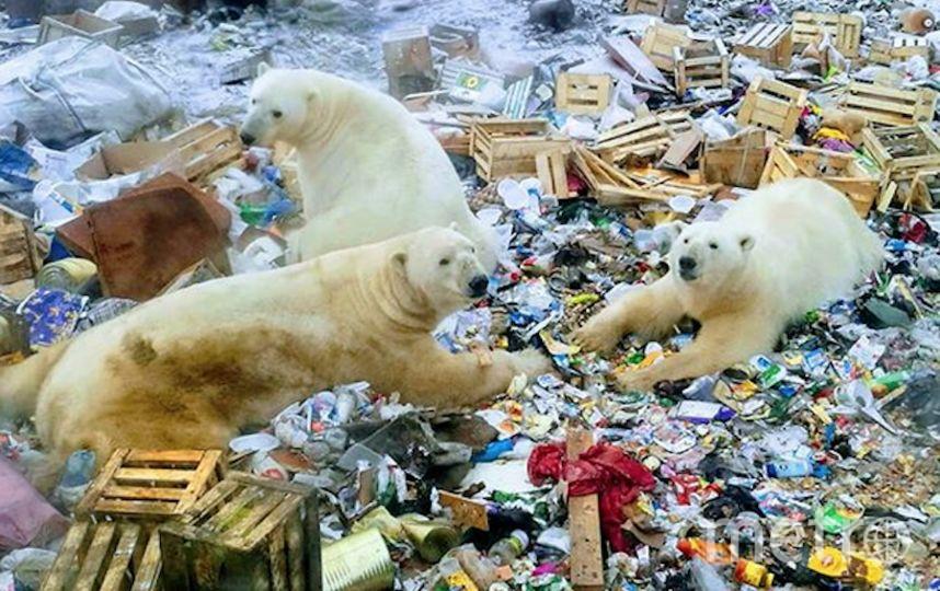 В настоящий момент отмечено наличие 52 белых медведей, которые заходят на территорию населённого пункта. Фото Скриншот https://www.instagram.com/friend__of__your__friend/