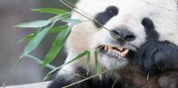 В Китае девочка упала в вольер с пандами: Видео