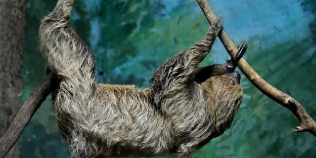 Ленивец.