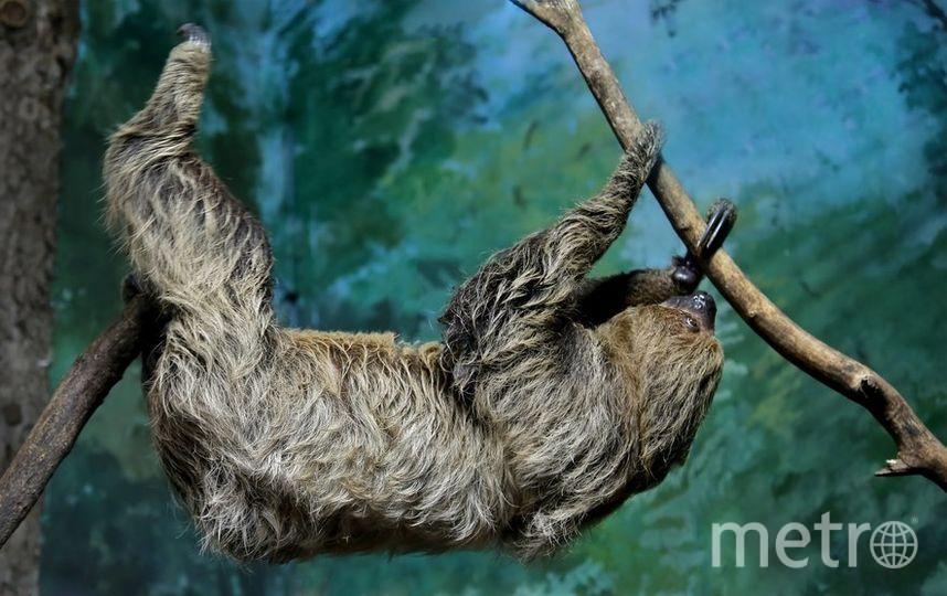 Ленивец. Фото Все фото предоставлены пресс-службой Московского зоопарка