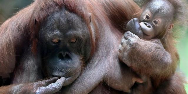 Борнейский орангутан.