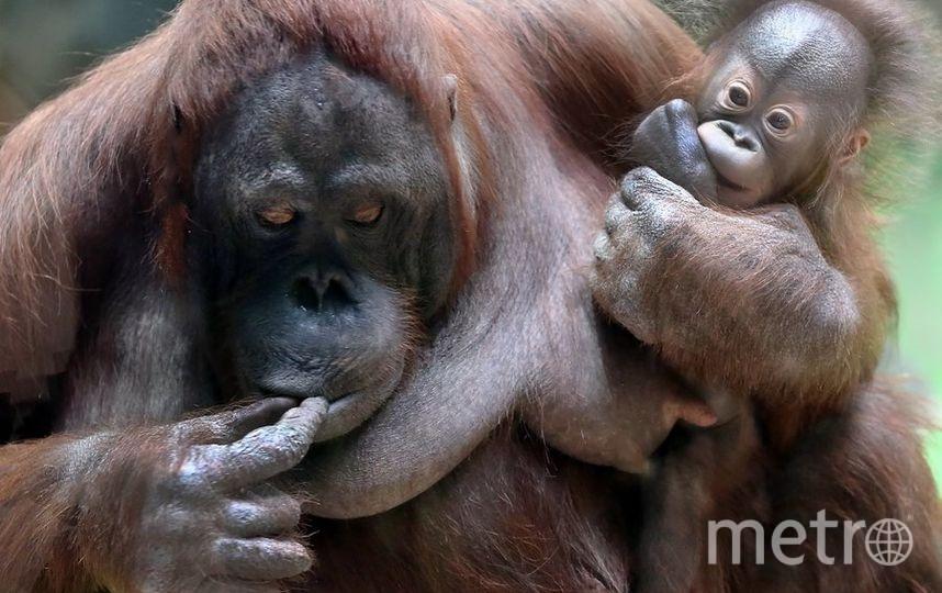 Борнейский орангутан. Фото Все фото предоставлены пресс-службой Московского зоопарка