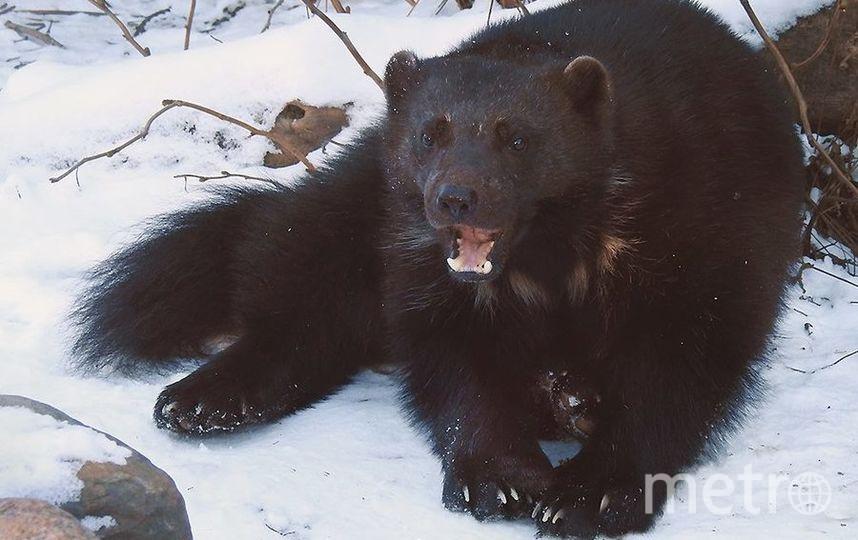 Росомаха. Фото Все фото предоставлены пресс-службой Московского зоопарка