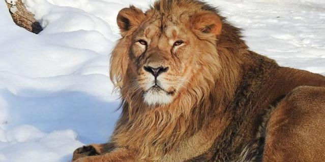 Азиатский лев.