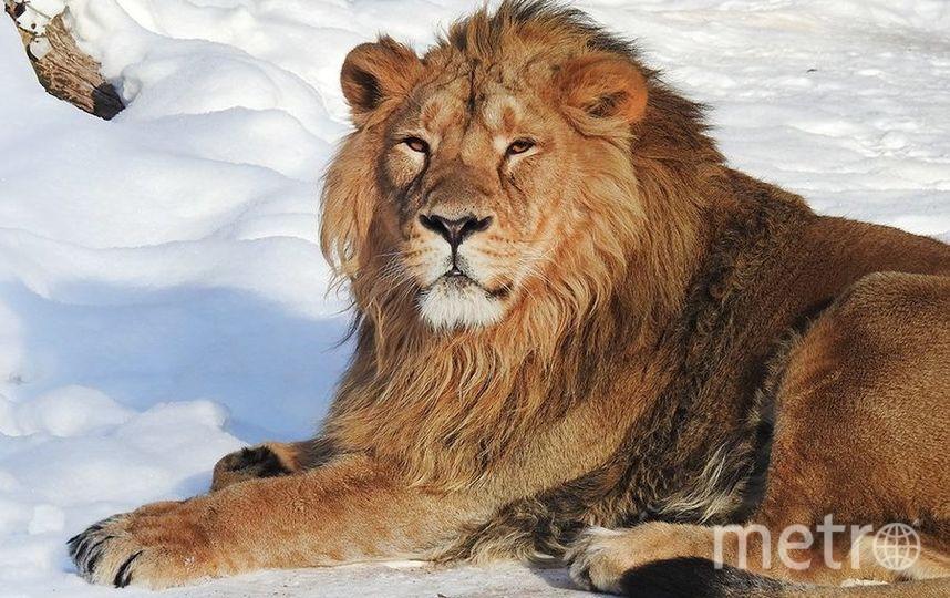 Азиатский лев. Фото Все фото предоставлены пресс-службой Московского зоопарка