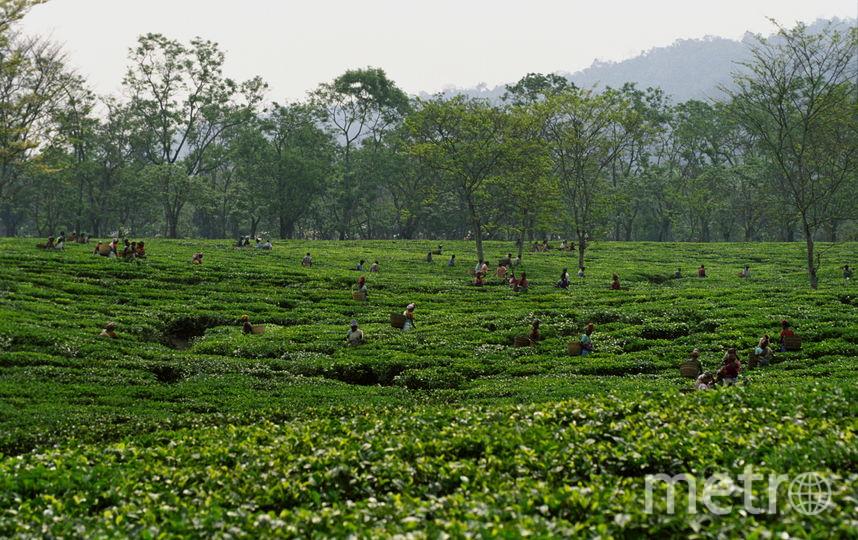 Чайная плантация в Индии. Фото Getty
