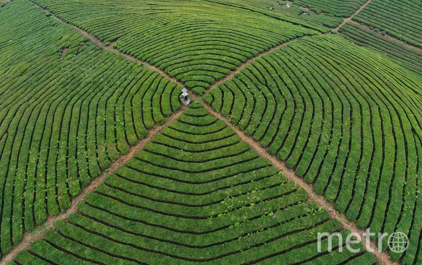 Чайная плантация в Китае. Фото Getty