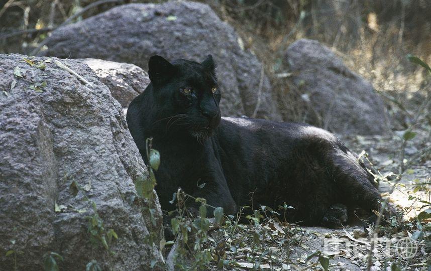 Чёрный леопард. Архивное фото. Фото Getty