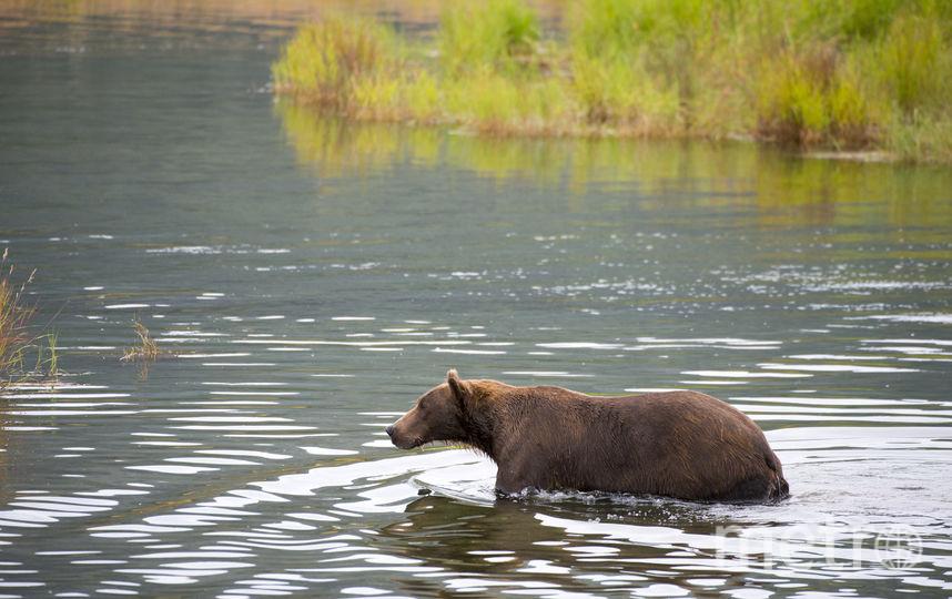 Бурый мишка ловит рыбу. Фото Getty